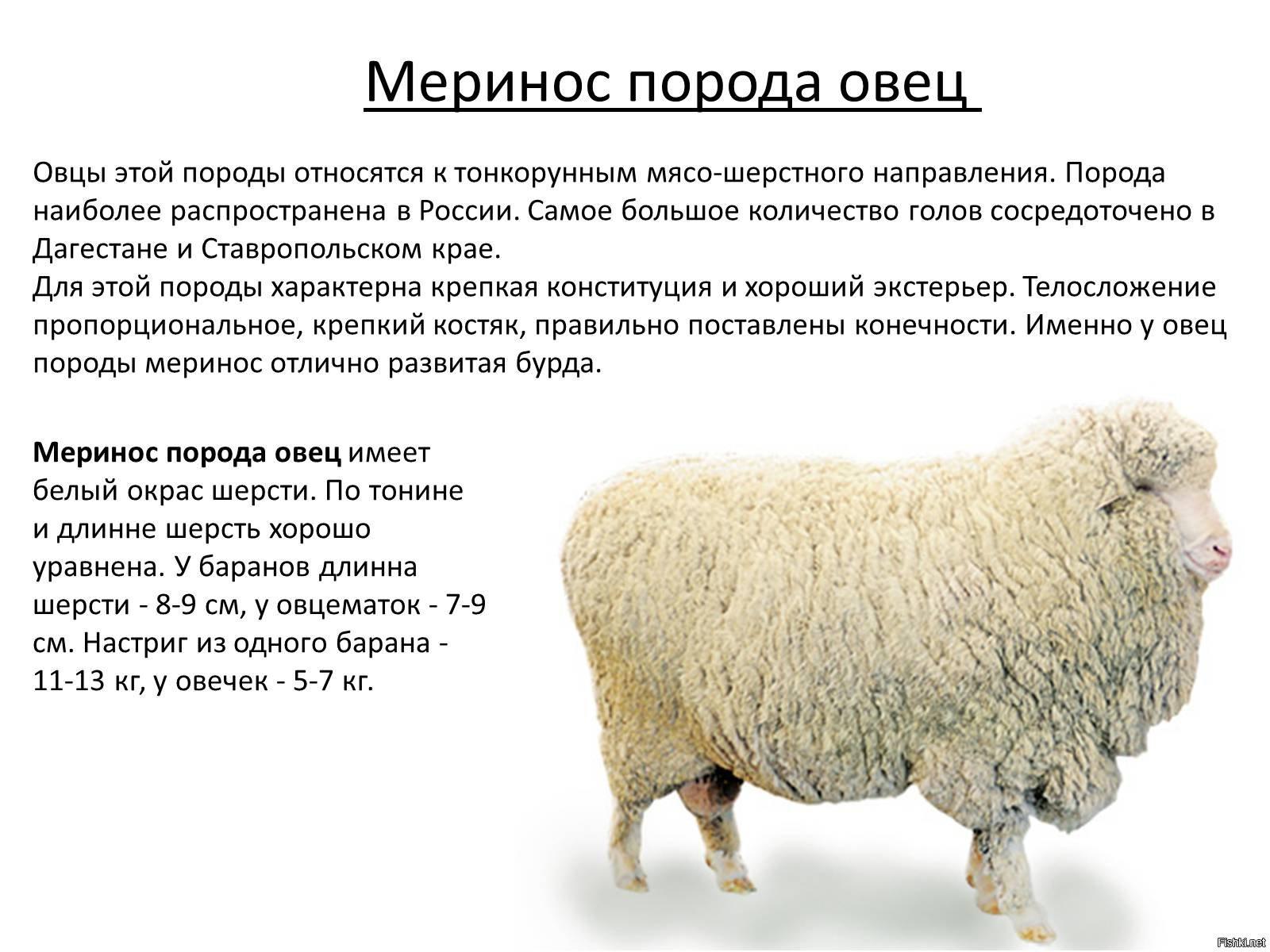Меринос свойства шерсти купить в москве ткань пакистан
